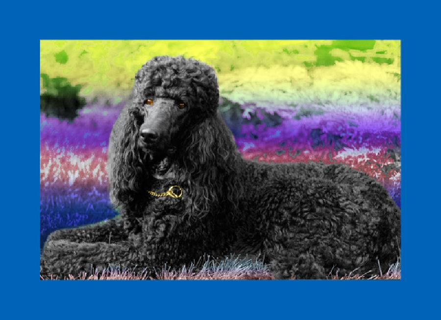 Standard Poodle. Available in museum quality fine art paper or museum quality canvas. Pricing upon request.