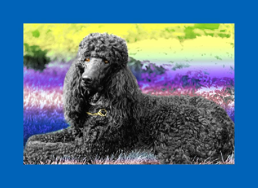 Standard Poodle- 1. A beautiful and regal standard poodle. Available in museum quality canvas or fine art paper. Pricing upon request.