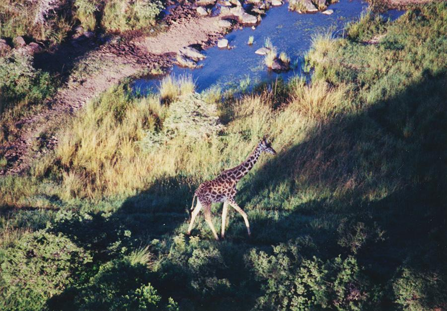 Giraffe View From Hot Air Balloon.