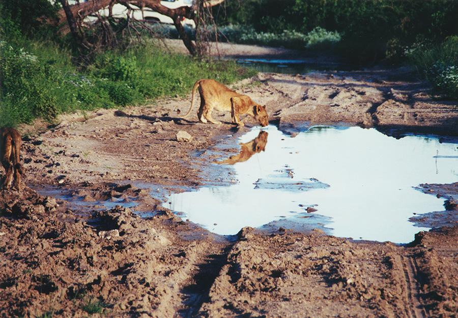 Lions Reflection Water Hole.