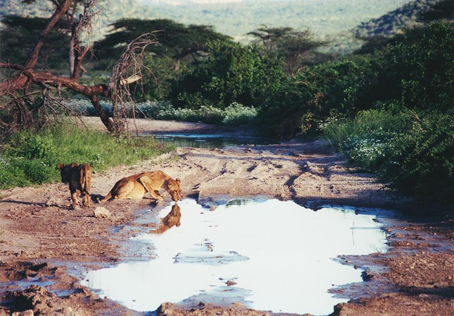 Lions Refreshing At Water Hole.