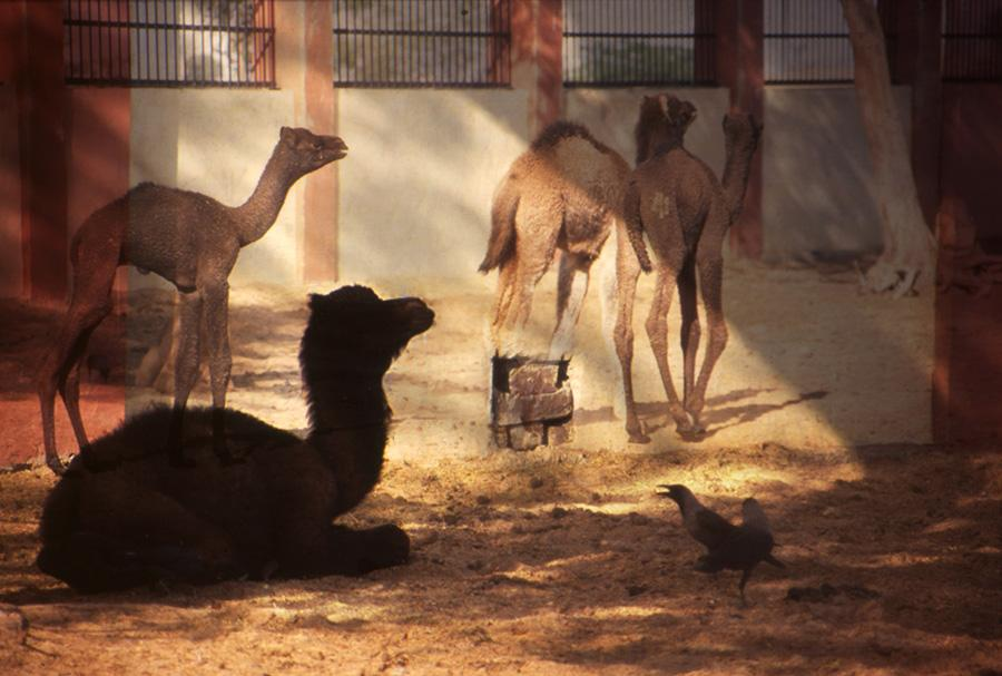 Camels at Rest, Surreal India 2013.