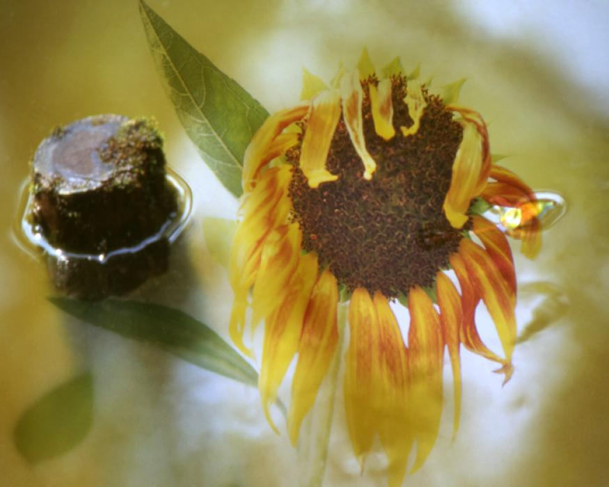 Weeping Sunflower, 2003.