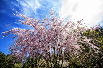 ROSE TREE - H. Scott Cushing