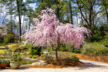 Cherry Blossom - H. Scott Cushing