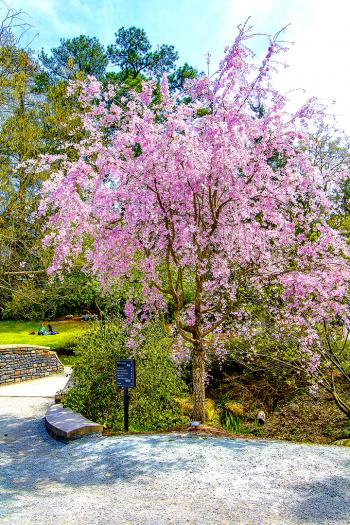 Cherry Blossom 44 - H. Scott Cushing
