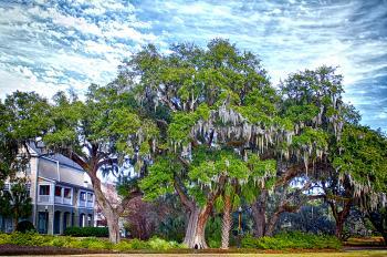 Grand Oak Tree Daniel Island - H. Scott Cushing