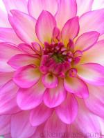 Bold Pink Dahlia
