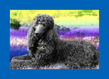 Standard Poodle- 1 - Fred Kelly