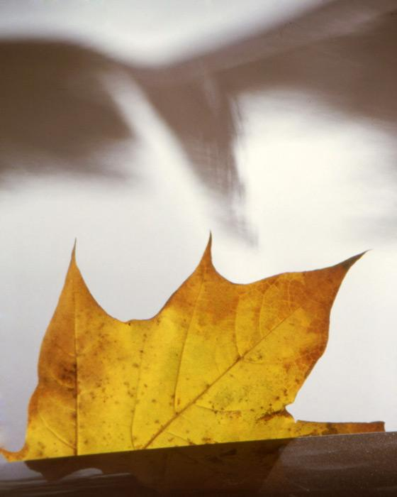 Golden Leaf, 2004 - Katherine Criss's work